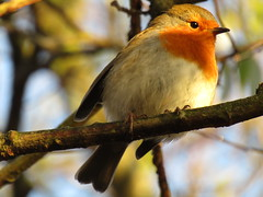 A Robin, trying to warm up with some sunlight this morning at Bryn Flash (stevencarruthers93) Tags: greenheart wigan nature wildlife wiganflashes winter