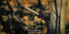 Scoiattolo nero (Roberto PE) Tags: scoiattolo squirrel sciurus