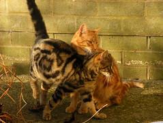 Love cats (rospix+) Tags: rospix 2016 november wales uk animal animals cat cats tabby tabbycat ginger gingercat