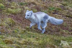 Arctic Fox (fascinationwildlife) Tags: animal mammal wiwi nature natur north norway arctic polar fox fuchs polarfuchs ice norwegen spitsbergen spitzbergen svalbard summer green field run cute alkhornet northern