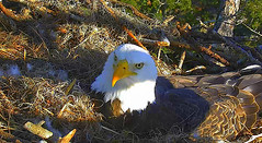 Handsome dude (heights.18145) Tags: baldeagles romeojuliet romeo neflcam ccncby bigeyes paparomeo