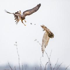 Tag, You're it! (mLichy911) Tags: owl owls harrier northern shorteared raptor bird pnw wa seattle wild wildlife nature winter portrait action bif flight fight duel canon 7dmarkii 500f4