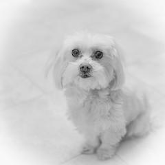 White … (Thru Mikes Viewfinder) Tags: bella maltese highkey