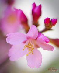 Sakura in Sydney (eggwah123) Tags: pink flower macro tree closeup zeiss spring dof bokeh outdoor sony depthoffield sakura a7 carlzeiss makroplanar vintagelens oldlens manualfocuslens makroplanar100mmf28 manuallen sonya7