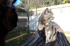 Photobombed (Matilda&Charlie&Josie ~ MCJ) Tags: cat matilda 9yo photobombed greybluecreamtortoiseshell