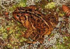 American Toad (Anaxyrus americanus) (jd.willson) Tags: nature field island bay wildlife maine frog american toad jd penobscot herps bufo willson americanus islesboro fieldherping herping anuran amphibain anaxyrus jdwillson