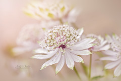 Masterwort (Jacky Parker Photography) Tags: pink flower color macro closeup outdoors image softness nopeople simplicity softfocus freshness selectivefocus naturephotography macrophotography astrantiamajor masterwort fragility beautyinnature horizontalformat flowerphotography focusonforeground