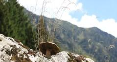 Tout l-haut dans la montagne... poussent les  cpes! (t25clic) Tags: montagne altitude pyrnes cpes