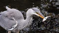 Hungry Heron (the44mantis) Tags: food fish bird heron river grey scotland harbour beak ardea eat prey stornoway wader coiner