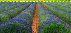 Field of lavender in Provence (clodio61) Tags: blue france flower color nature field june rural landscape photography spring europe day outdoor country scenic lavender row land provence agriculture provencealpescotedazur