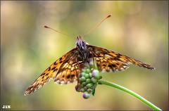 Viento de cola (- JAM -) Tags: naturaleza flower macro nature insect nikon flor explore jam mariposas d800 insecto macrofotografia explored lepidopteros juanadradas