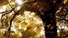 Climb Up (Ruff Edge Design) Tags: autumn trees cemetery leaves yellow graves augusta 169