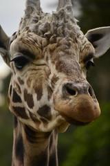 Giraffa camelopardalis DT [NZ Auckland Zoo] (7) (Archivo Murcilago Blanco) Tags: africa fauna auckland mammals mammalia aucklandzoo nuevazelanda ungulates giraf jirafa giraff mamifero artiodactyla giraffidae oceana cetartiodactyla ungulado ungulados tirira diegotirira archivomurcielagoblanco