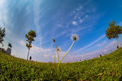 Dandelion (Vyc_Majoris) Tags: park city blue sky cloud plant flower tree green nature landscape dandelion fisheye 8mm mavi bulut gökyüzü manzara çiçek yeşil ağaç bitki samyang şehir karahindiba