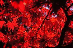 Rot (Roland Henz) Tags: rot laub herbst natur schwarzwald farben 2015 freudenstadt farbenpracht verfrbung 01112015