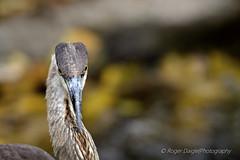 Great Blue Heron (Roger Daigle) Tags: blue heron birds nikon great flight 28 nikkor 70200 d610 vrii