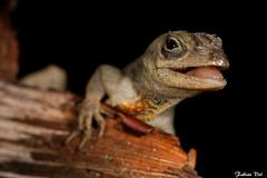 IMG_5104 Veracruz - Anolis sagrei (fabianvol) Tags: portrait macro mexico reptile lizard mexique lzard reptila