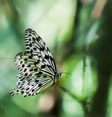 Black and White Butterfly (Said Photography) Tags: forest butterfly kerala palakkad nilgiri silentvalley westernghut