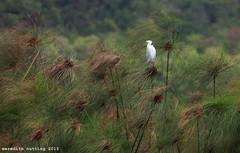 Heron on Papyrus (meredith_nutting) Tags: africa heron rwanda marsh papyrus eastafrica easternafrica papyrusreeds