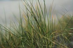Strandhafer (kalakeli) Tags: oktober october balticsea ostsee zingst 2015 ammophila dars strandhafer strandbefestigung strandsicherung