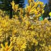 Golden morning in Fremantle (Figgles1) Tags: flowers flower gold golden paw kangaroo paws fremantle iphone kangaroopaw kangaroopaws img9662