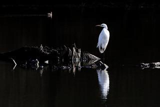 Grande Aigrette - Ardea alba - Western Great Egret