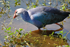 COMMON MOORHEN (concep1941) Tags: nature birds commongallinule watersides freshwatermarshes railfamily