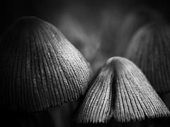 Champignons (steph20_2) Tags: bw white black macro mushroom monochrome closeup noir noiretblanc ngc monochrom blanc 45mm champignon m43 gh3 skanchelli