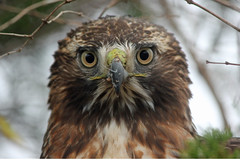 Ped-tailed Hawk, Orleans, MA 12/17/15 (petertrull) Tags: elements