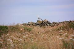 Pas commode (philippe.ducloux) Tags: france bird nature canon brittany seagull gull bretagne oiseau mouette finistre le goland batz ledebatz 450d canon450d strictlygeotagged natureonly