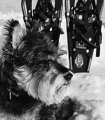 Snow Dawg (Pep's Hiking Team) Tags: dog nikon schnauzer snowshoeing 2015 traildog adventuresniffer