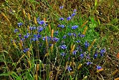 The cornflowers (Hejma (+/- 5200 faves and 1,6 milion views)) Tags: poland blue cornflowers green chiaroscuro autumnfield grass