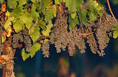 Ripe for harvest (hbothmann) Tags: trauben weinstock toskana chianti weinrebe