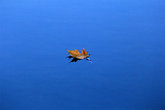 Leaf on the Water (Brian 104) Tags: leaf water river blue floating fall minimalist autumn