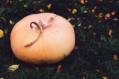 Homegrown pumpkin (KatieSh) Tags: pumpkin halloween jackolantern garden homegrown vegetables