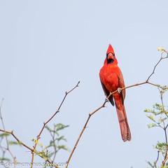 Northern Cardinal (Kukui Photography) Tags: northern cardinal arizona backyard bird tucson northerncardinal