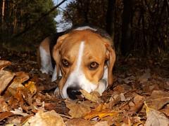 Lie! Wait me! :) (andraszambo) Tags: beagle dog trikolor hound hund kutya kopó vadászkutya lie wait fekszik várj jagdhund tricolor tricolour pet wood forest wald erdő terep nature engedelmesség ősz october október autumn