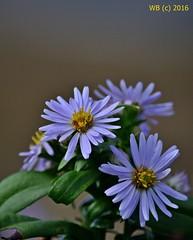 DSC_0300n wb (bwagnerfoto) Tags: flower virg blume closeup depthoffield outdoor nature usa halibut point autumn herbst sz