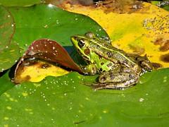Botanical garden - green frog (Linda DV) Tags: lindadevolder panasonic geotagged travel portugal porto europe 2016 citytrip oporto ribbet frog