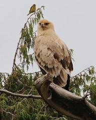 tawny eagle (Aquila rapax)_Bale NP, Ethiopia (stempniewiczlech) Tags: eagle tawnyeagle africa ethiopia aquilarapax