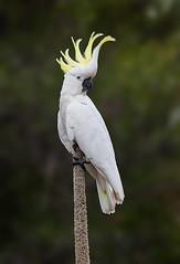SC Cockatoo on Grass Tree (caralan393) Tags: birds cockatoo crested grasstree