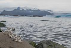 Eat my Bones (Pose Skeleton) Iceland 2016 - 030 (EatMyBones) Tags: bones iceberg iceland islande miniature nature poseskeleton rement skeleton toy travel water