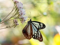 (Polotaro) Tags: mzuikodigital45mmf18 butterfly insect bug nature olympus epm2 pen zuiko          flower   10  garden
