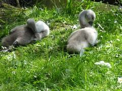 2016 05 17 003 Devizes (Mark Baker.) Tags: 2016 baker devizes eu europe mark may bird britain british cygnet cygnets england english european gb kingdom mute photo photograph picsmark spring swan town uk union united wilts wiltshire
