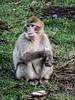Baby monkey (Justgetdancey) Tags: monkey ape barbarymacaque macaque banana eating animal forest monkeyforest animalplanet fur