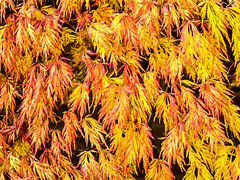 Autumn Colours (niloc's pic's) Tags: acerpalmatum acer japanesemaple yellow tree leaves bexhillonsea eastsussex panasonic lumix dmcgx7
