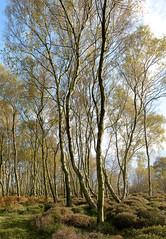 Stanton Moor Birches (CactusD) Tags: stantonmoor derbyshire peak peakdistrict district stanton moor landscape england nikon d800e fx texture uk nationalpark national park unitedkingdom gb 24mmf35pce 24pce 24mm f35 pce tiltshift