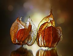 Little Lanterns. (Through Serena's Lens) Tags: mm macromondays backlit physalis capegooseberry fruit macro bokeh light torchlight vellumpaper reflection