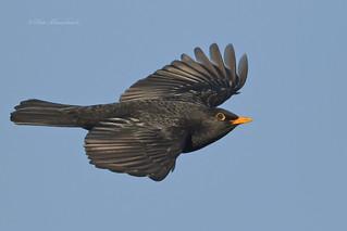 Blackbird (explored)