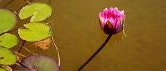 Nenúfar La Rosaleda (Madrid) (alfonsocarlospalencia) Tags: nenúfar madrid la rosaleda rosa reflejo agua verde insecto pétalos marrón luz macro sombra jardín transparencia minimalismo